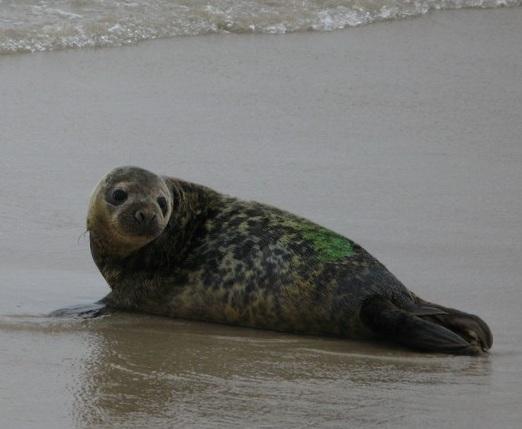 Балтийский тюлень