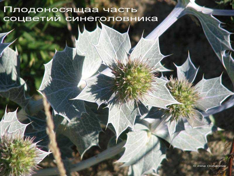 Соцветие синеголовника