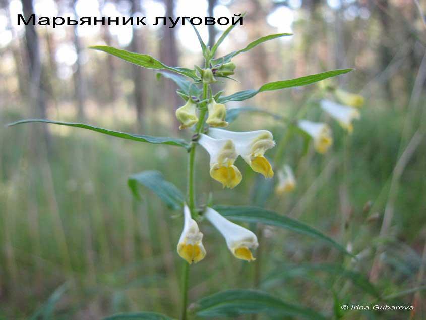 Марьянник луговой
